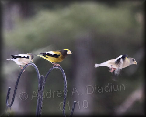 Aad-EveningGrosbeak-1-23-10-8514
