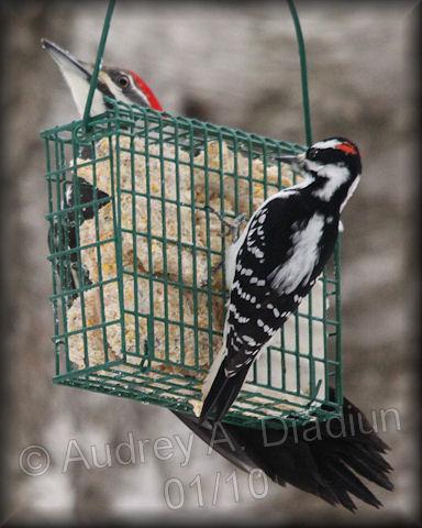 Aad-DownyWoodpecker-1-23-10-8465