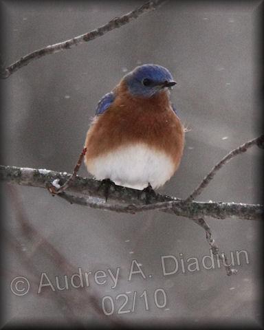 Aad-EasternBluebird-2-3-10-9121