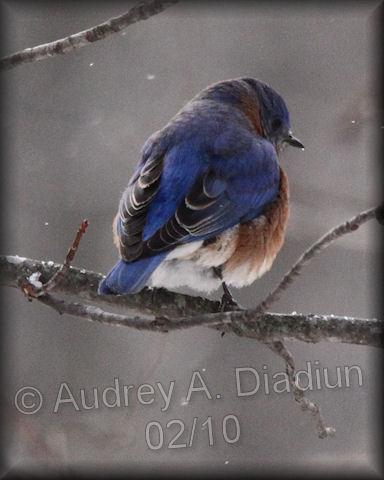 Aad-EasternBluebird-2-3-10-9129