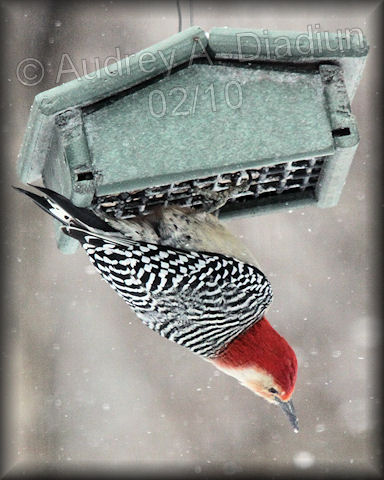 Aad-Red-Bellied Woodpecker-2-6-10-9226