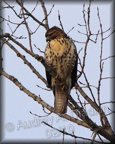 Aad-Red-TailedHawk-2-7-10-9376