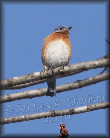 Aad-EasternBluebird-2-7-10-9308