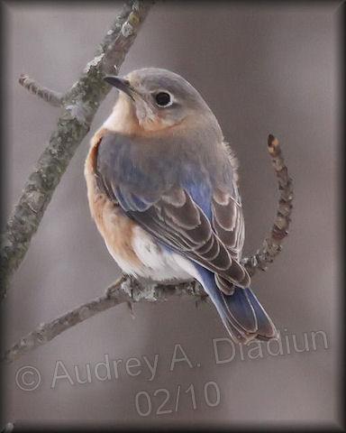 Aad-EasternBluebird-2-15-10-9496