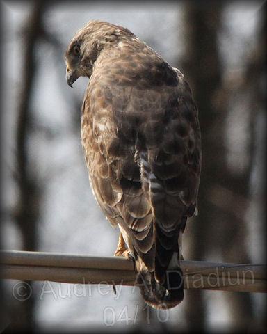 Aad-Broad-WingedHawk-4-15-10-0278