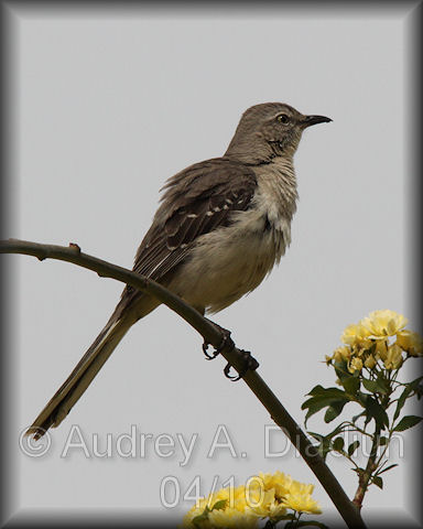 Aad-NorthernMockingbird-4-20-10-0724