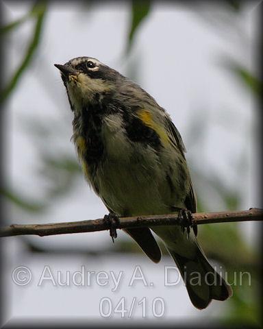 Aad-Yellow-RumpedWarbler-4-20-10-0683