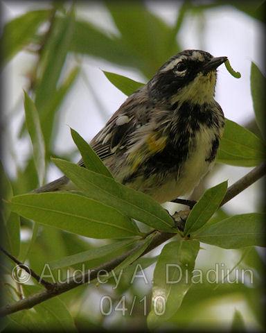 Aad-Yellow-RumpedWarbler-4-20-10-0685