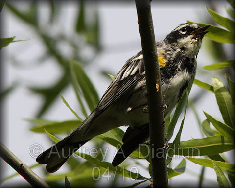 Aad-Yellow-RumpedWarbler-4-20-10-0687