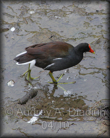 Aad-CommonMoorhen-4-21-10-1025