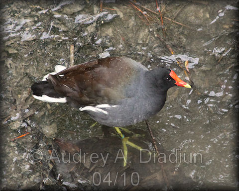 Aad-CommonMoorhen-4-21-10-1064