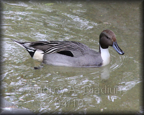 Aad-NorthernPintail-4-21-10-1126