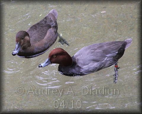 Aad-RedheadDuck-4-21-10-1207