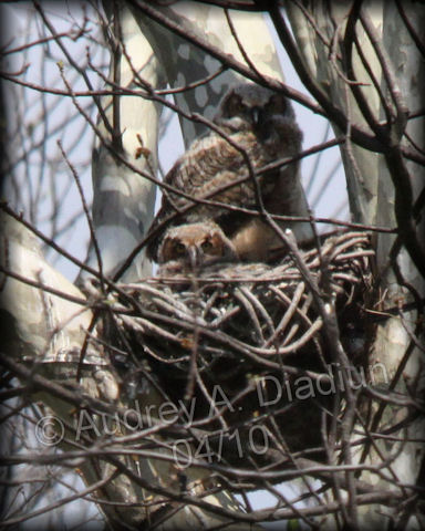 Aad-GHO-owlets-4-30-10-1822
