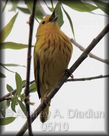 Aad-YellowWarbler-5-1-10-1873