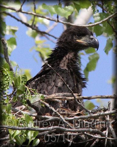 Aad-BaldEagle-eaglet-5-4-10-2006