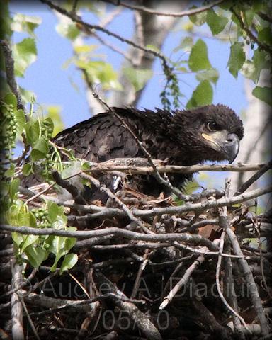 Aad-BaldEagle-eaglet-5-4-10-2007