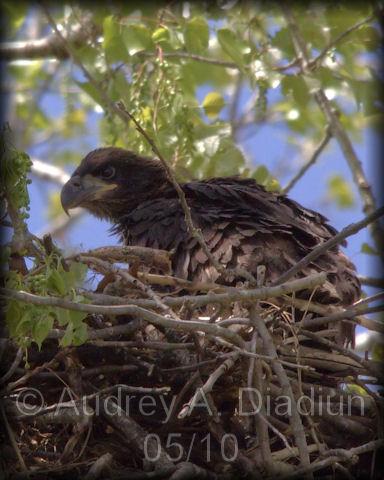 Aad-BaldEagle-eaglet-5-4-10-2163
