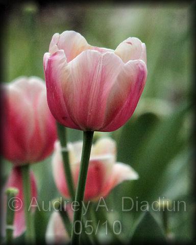 Aad-tulip-5-8-10-2436