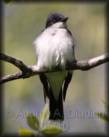 Aad-EasternKingbird-5-9-10-2809