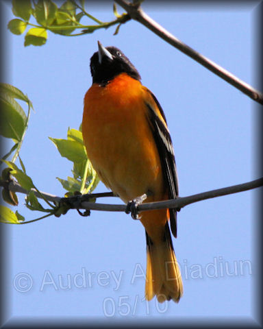 Aad-BaltimoreOriole-05-09-10-2843