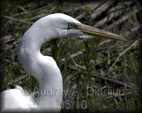 Aad-GreatEgret-A-5-9-10-2699