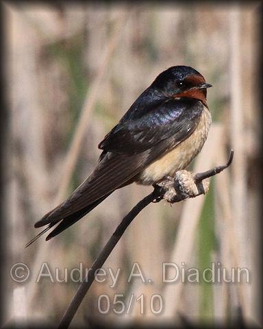 Aad-BarnSwallow-5-9-10-2496