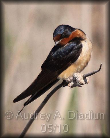 Aad-BarnSwallow-5-9-10-2517