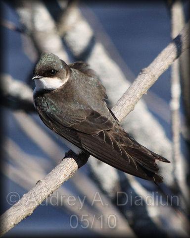 Aad-TreeSwallow-5-9-10-2562