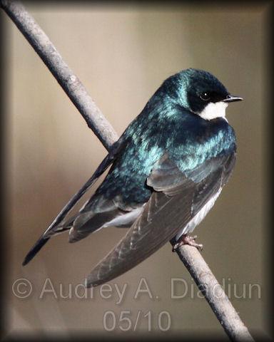 Aad-TreeSwallow-5-9-10-2554