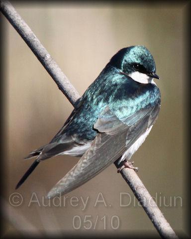 Aad-TreeSwallow-5-9-10-2555