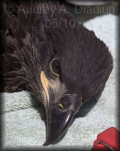 Aad-EagleBanding-19