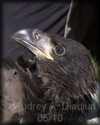 Aad-EagleBanding-20
