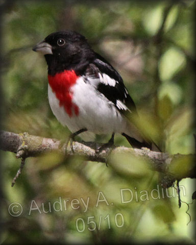 Aad-Rose-BreastedGrosbeak-male-5-14-10-3172