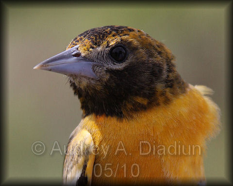 Aad-BaltimoreOriole-5-15-10-3571