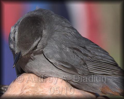 Aad-GrayCatbird-5-15-10-3296