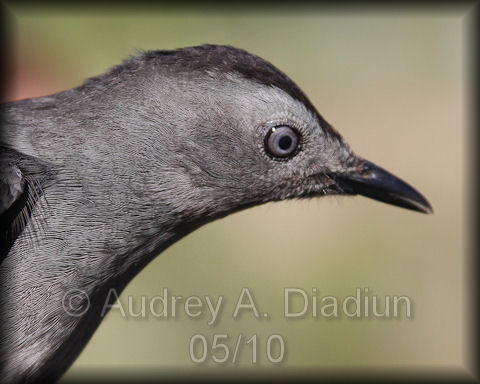Aad-GrayCatbird-5-15-10-3302