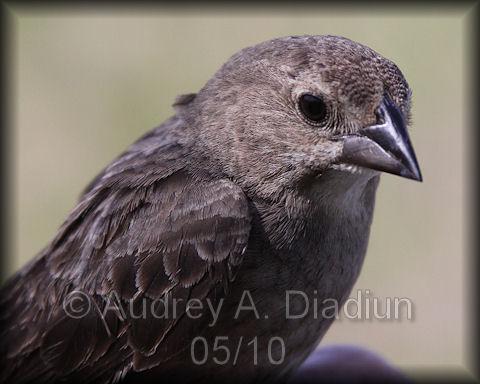 Aad-BrownHeadedCowbird-5-15-10-3427