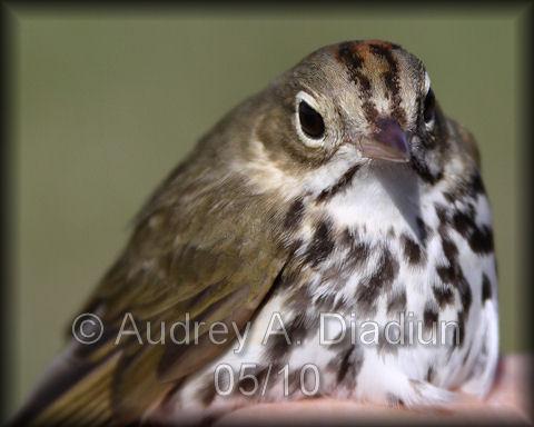 Aad-Ovenbird-5-15-10-3376