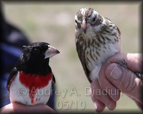 Aad-Rose-BreastedGrosbeak-5-15-10-3522