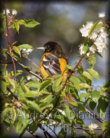Aad-BaltimoreOriole-5-16-10-4080