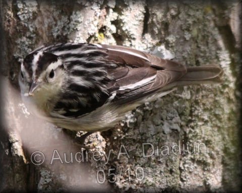 Aad-Black-n-WhiteWarbler-5-16-10-4014