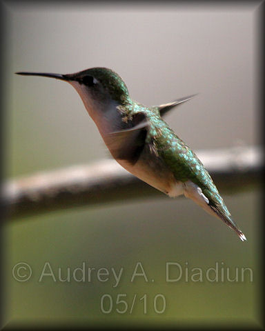 Aad-Ruby-ThroatedHummingbird-5-16-10-3828