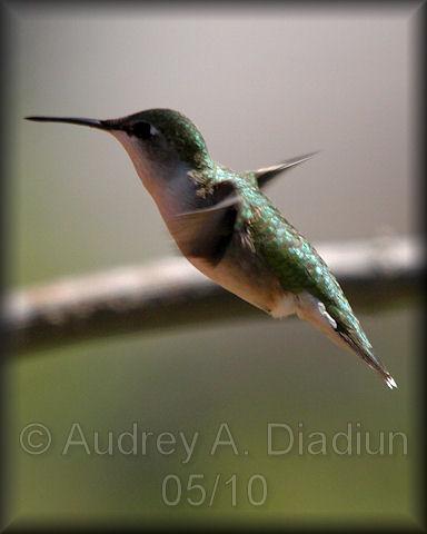 Aad-Ruby-ThroatedHummingbird-5-16-10-3828