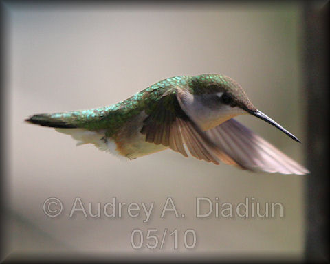 Aad-Ruby-ThroatedHummingbird-5-16-10-3840