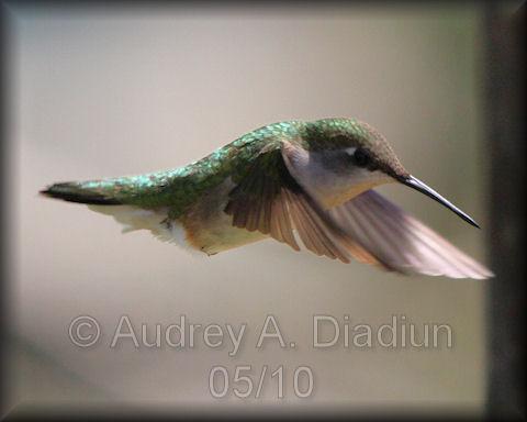 Aad-Ruby-ThroatedHummingbird-5-16-10-3840