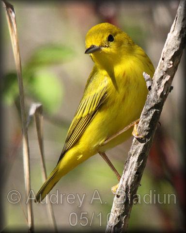 Aad-YellowWarbler-5-16-10-3973