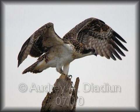 Aad-Osprey-7-22-10-3040