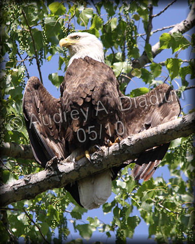 Aad-Eagle-Mom-5-19-10-4261
