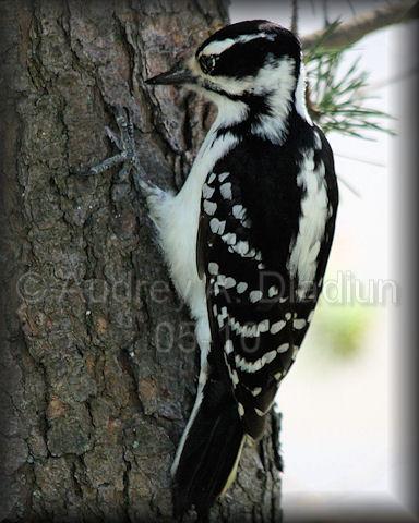 Aad-HairyWoodpecker-5-20-10-4704